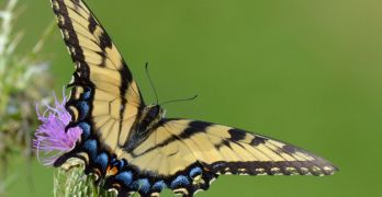 Backyard Nature: A bounty of butterflies