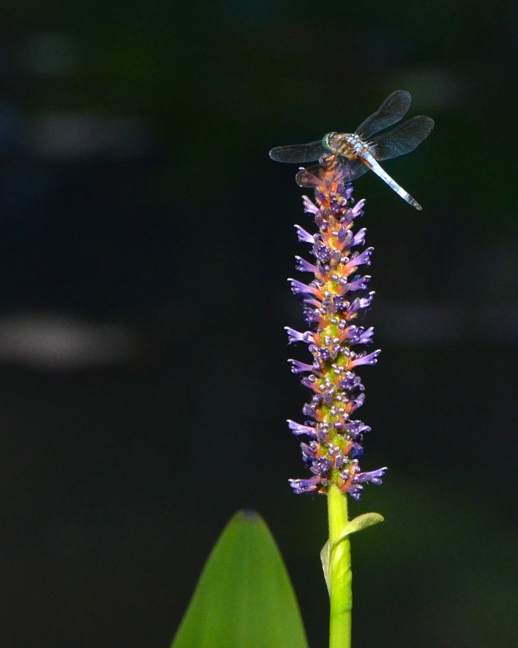 A dragonfly alights on a pickerel weed.