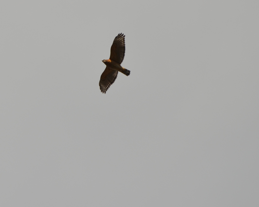 A northern harrier.