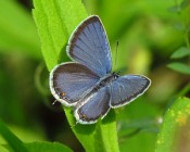 Eastern Tailed Blue butterfly (Wikimedia Commons photo)