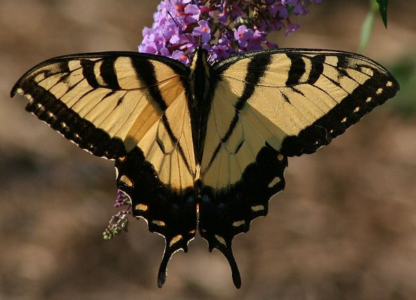 Easter Tiger Swallowtail. (photo courtesy of Wikimedia Commons, by user Meghanmccarty)