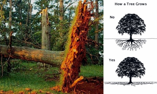 """Understanding how a tree grows (DDOT/UFA, """"Construction Guidelines for Tree Protection"""")"""