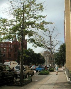 Street trees decline after growing in confined soil areas until the roots have exceeded the capacity of the space (Casey Trees)
