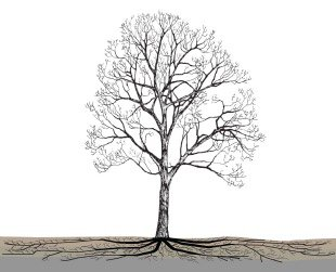 Tree roots grow far beyond the tree canopy when given space to grow (Casey Trees)