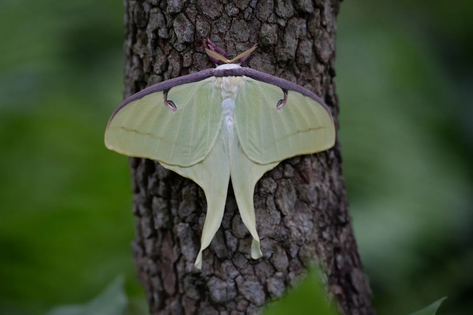 A luna moth stops for a spell in a Forest Hills neighbor's yard. (photos provided by Adam Sieminski)