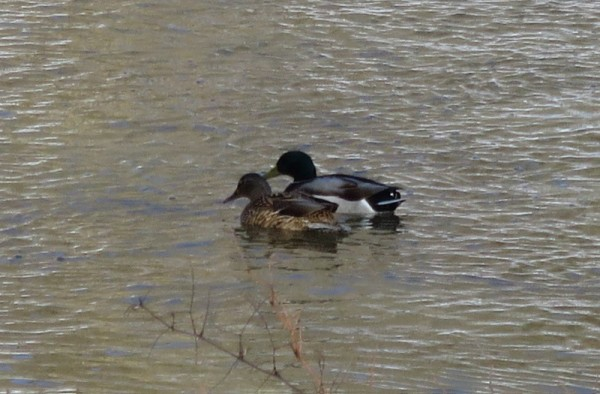 These mallards are enjoying the chilly waters of Rock Creek near Peirce Mill. (photo by Marlene Berlin)