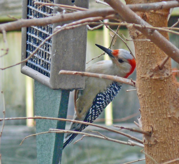Red-bellied woodpecker at the feeder. (photo courtesy of Larry Meade, president of the Northern Virginia Bird Club)