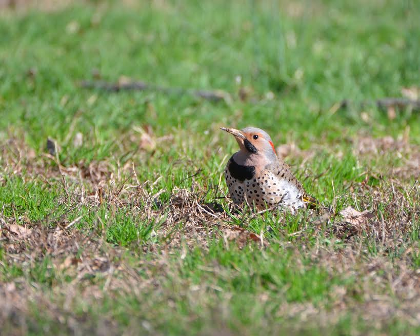 A northern flicker in the grass.