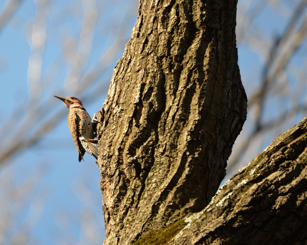 A northern flicker on a tree.