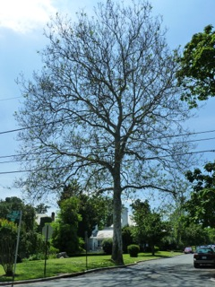 The sick sycamore at 30th and Davenport. (photo by Pat Davies)
