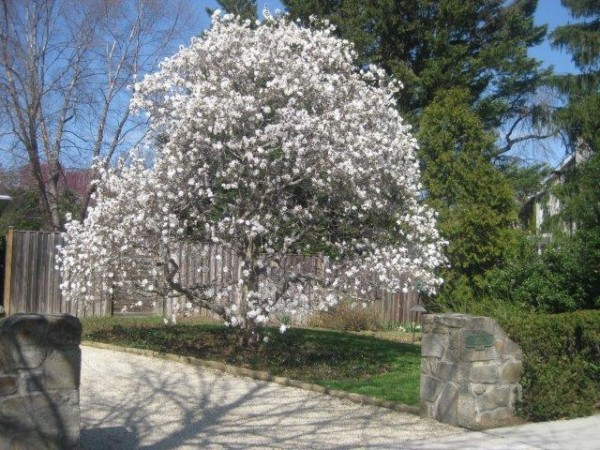A star magnolia in full bloom.