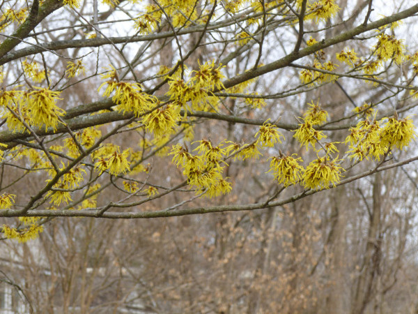 The witch hazel blossoms at Linnean and Davenport (photo by Marlene Berlin)