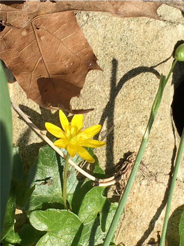 Yellow flower of lesser celandine