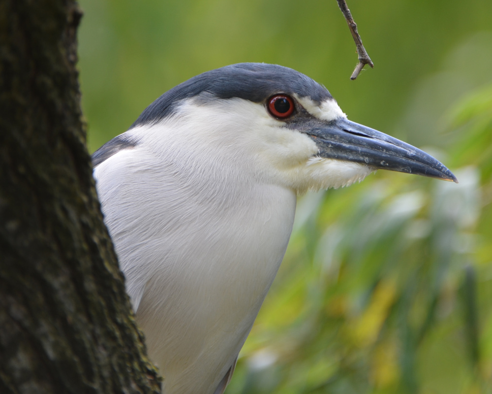 A black-crowned night heron, from a wild migratory flock outside the Bird House (see https://nationalzoo.si.edu/Animals/Birds/News/bcnh.cfm for more about a marvel of nature and our city)