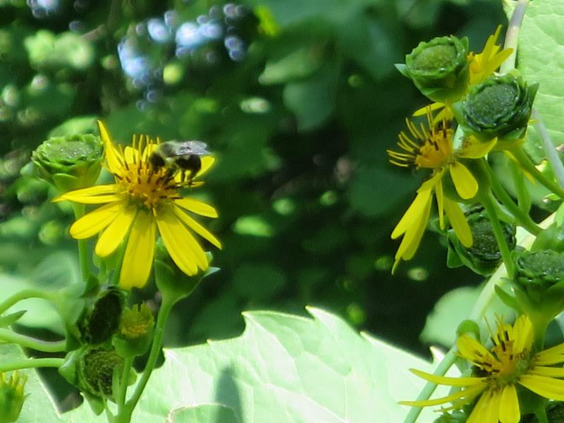 A happy bumble bee in the author's garden (photo by Marlene Berlin)