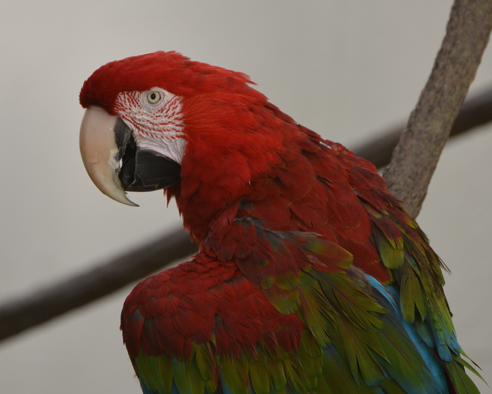 A green-winged macaw