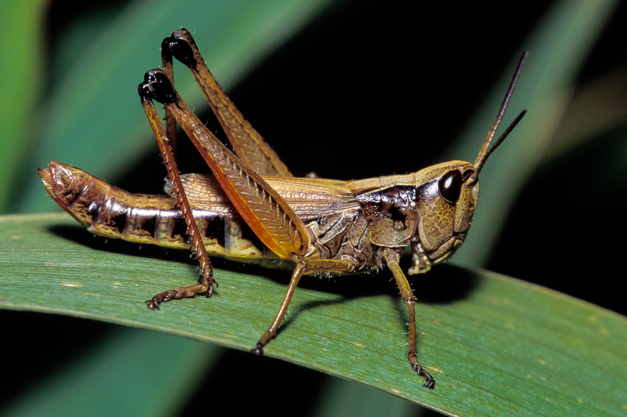 Marsh meadow grasshopper (photo © SongsofInsects.com. Click here to listen to its song and learn more.)