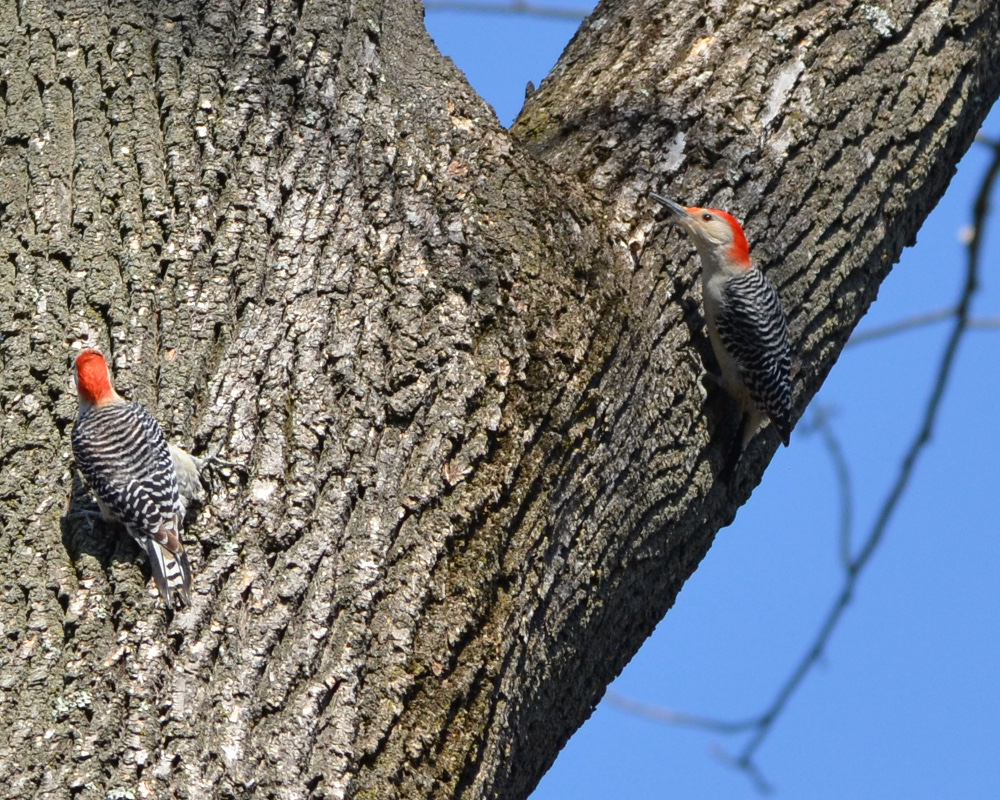 A red-bellied woodpecker pair.