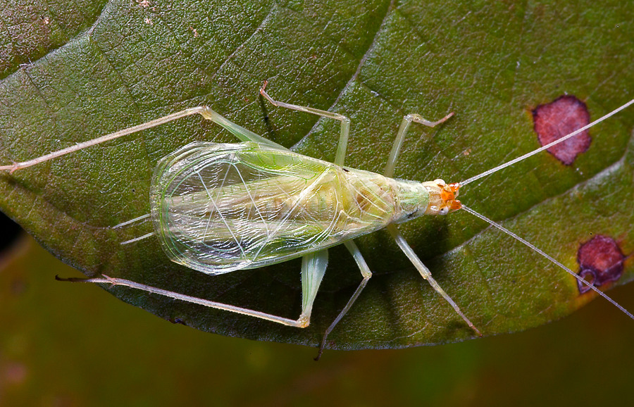 Snowy tree cricket (photo © SongsofInsects.com. Click here to listen to its song and learn more.)