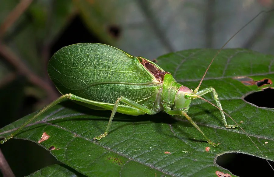 Common true katydid (photo © SongsofInsects.com. Click here to listen to its song and learn more.)