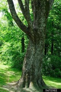American elm Ulmus americana Urticales Ulmaceae 5472982