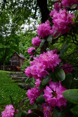 Rhododendron at Grist Mill