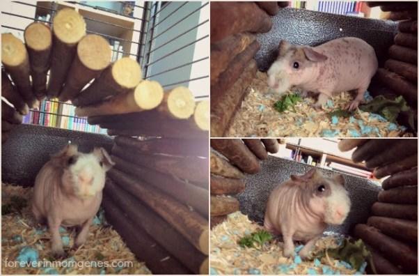 skinny pigs
