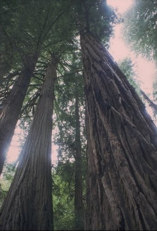 Recreating Old-Growth Forests