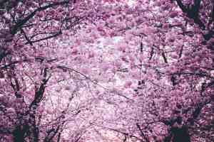 Cherry Blossom wallpaper.