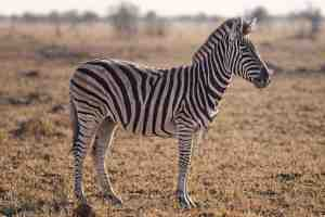 HD Wallpaper Zebra