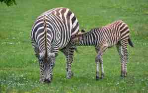 A Zebra playing with his foal.