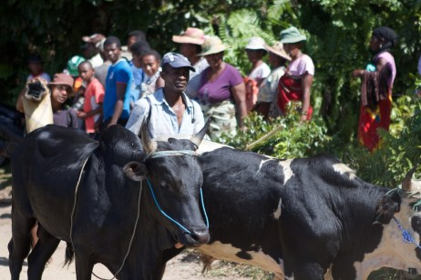 Zebu being taken to slaughter for tonight's party