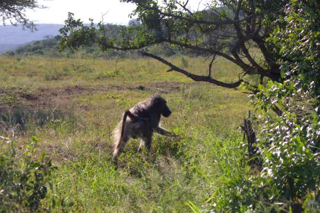 Baboon bum