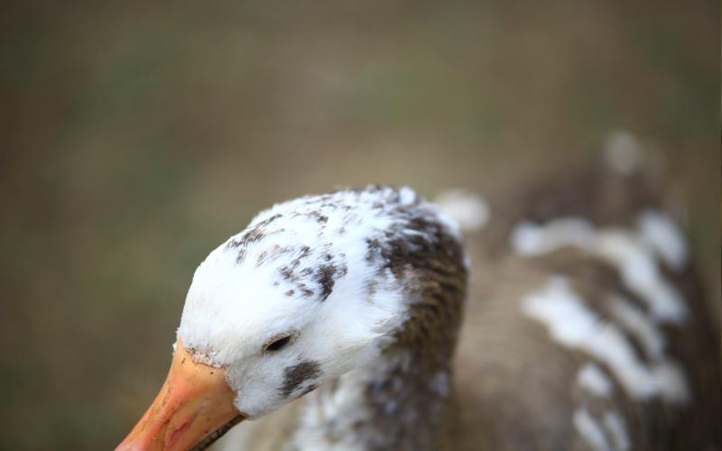A Duck?