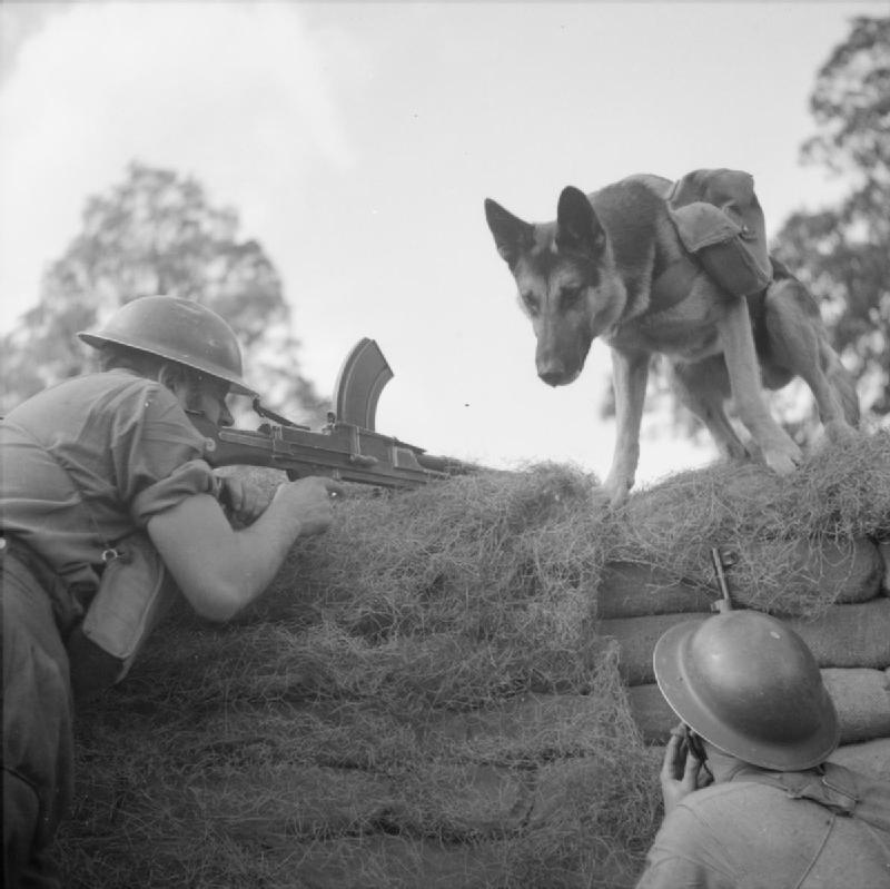 Mark (a dog ammunition carrier) delivers ammo to a Bren gun team, Eastern Command 20 August 1941
