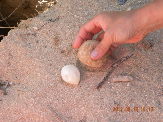 Eggs laid by a threatened Green sea turtle