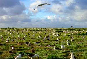 Nesting Laysan albatrosses reap the benefit of Verbesina removal on Midway Atoll National Wildlife Refuge in Hawaii. Credit: J Klavitter/USFWS