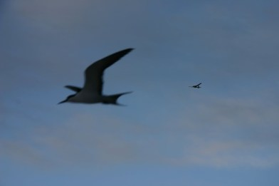 Is it a bird, or an Unmanned Aircraft System? A seabird soars in the foreground while the Puma flies above.