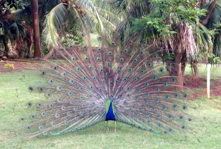 A peacock shows his stunning beauty at Smith's Tropical Paradise in Wailua. Only the males have a colorful tail used to entice females, which are called peahens. Their offspring is called peachicks. There have been a few rare white peacocks, of equally stunning beauty, photographed on Kaua'i. Photo by Halli Holmgren.