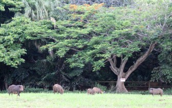 """While the little piggies went to the market, these five wild boars casually walked into a farm in Kilauea to get a free meal, ignoring the """"private property"""" sign posted on the tree."""