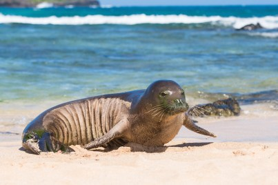 A Hawaiian monk seal and a green sea turtle decided to come ashore at Po'ipu Beach Park in July, and photographer Anne Canon, from Kansas City, Mo., got these shots. This was Canon's fourth visit to Kaua'i four, and she said this was by far the most active monk seal she has seen. Check some of her work at www.annecanonphotography.com.