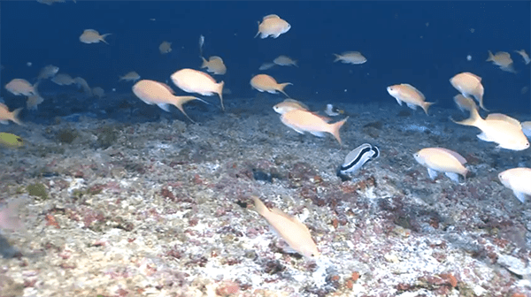 Deep reef fishes at 270 feet, Pearl and Hermes Atoll. What is remarkable about fish communities at this depth is that over 90% of the fishes are Hawaiian endemics, or species that are only found in Hawai'i. This is the highest level of endemism known from any marine ecosystem on earth.