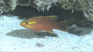 Sunrise Basslet (Liopropoma aurora) in 215 feet of water at Pearl and Hermes Atoll. This fish is rarely seen by divers except in very deep water.