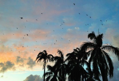 Thousands of Indian ringneck parakeets seek higher ground to roost at royal palms each day around dusk, including these birds on this photo taken at Po'ipu Shopping Village. These smart birds are quite vocal, active and exciting as pets, but in the wild, some consider them to be an agricultural pest. Still, it's quite a show to see waves of them in the sky looking for shelter. Photo by Hally Holmgren.
