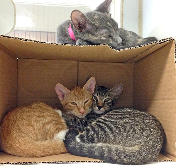 Three kittens take a nap a Kaua'i Humane Society, patiently waiting for someone to adopt them.