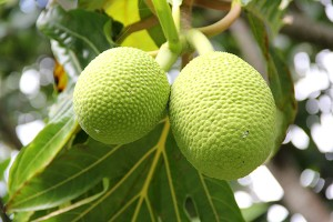 Ulu, or breadfruit, was an important staple in ancient Hawai'i.