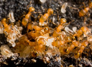 Little fire ants, a threat detected on Kaua'i more than 15 years ago. Photo by Eli Sarnat.