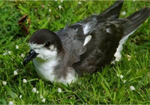 Hawaiian petrel. Photo by Jim Denny