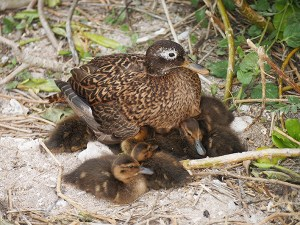 GN3 and her ducklings at Brad's Pitt. Photo by Matt Saunter/DLNR