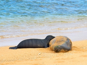 A monk seal pup